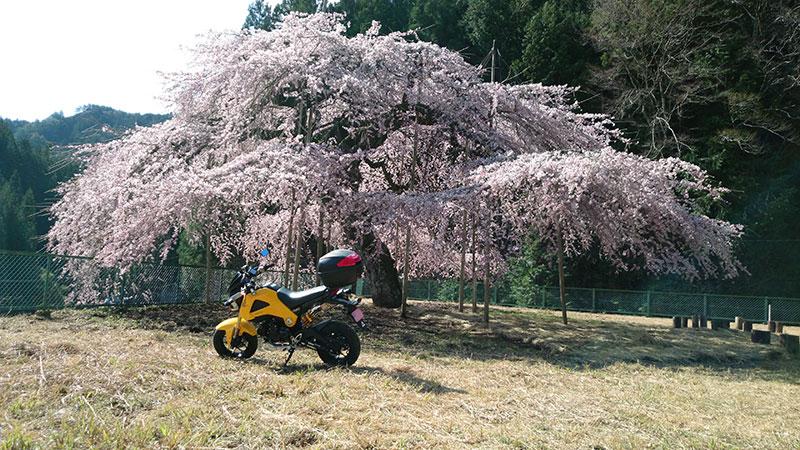 八橋うばひがん桜 その1