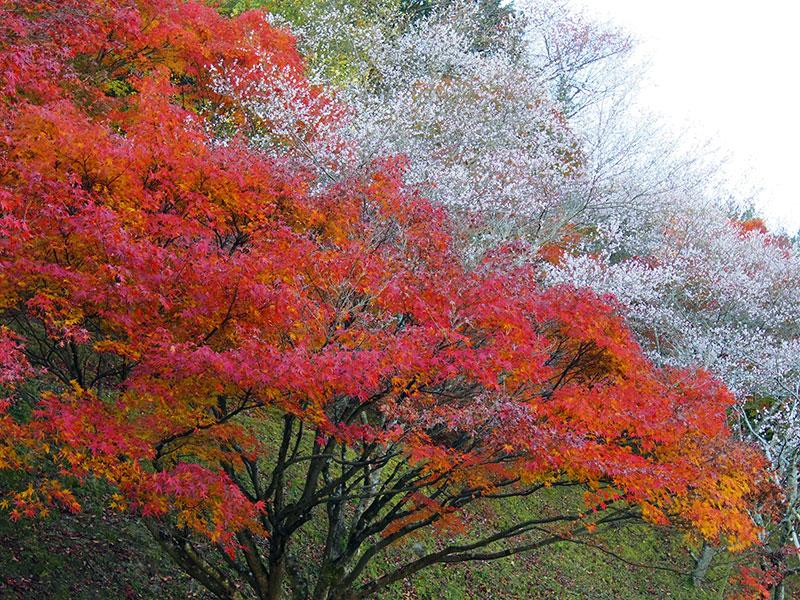 四季桜と紅葉1